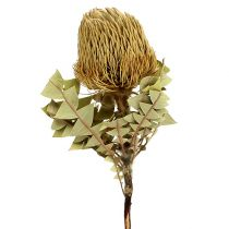 Banksia Baxterii Trockenblumen Natur 10St