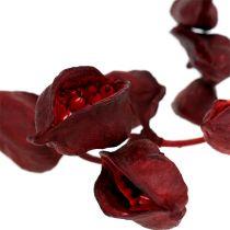 Brachyciton Rot 500g
