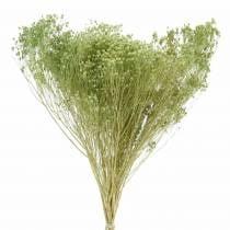 Trockenblumen Broom Bloom Hellgrün 150g