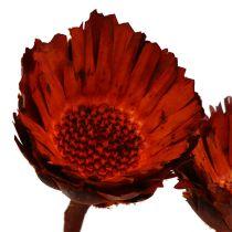 Compacta Rosette orange (37) 40St