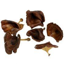 Kalix Pilz Natur lackiert 100St