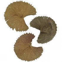 Lotusblätter getrocknet Natur Trockendeko Seerosenblatt 50St