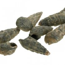 Naturartikel, Schneckenmuscheln Natur 6–10mm, Meeresdeko 1kg