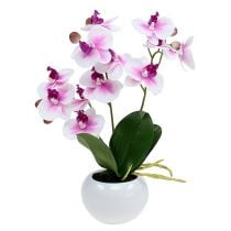 Orchideen im Topf H30cm Weiß-Rosa