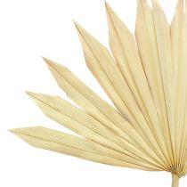 Palmspear Sun gebleicht 30St