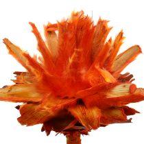 Plumosum 1 Orange 25St