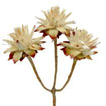 Leucospermum 1-3 Mix creme 100 Köpfe