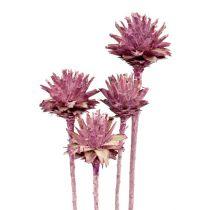 Leucospermum 1 brombeer gefrostet 25St
