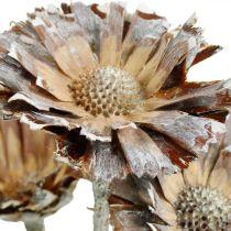 Exoten Mix Protea Rosette Natur, Weiß gewaschen Trockenblume 10St