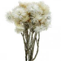 Trockenblumen Capblumen naturweiß, Strohblumen, Trockenblumenstrauß H33cm
