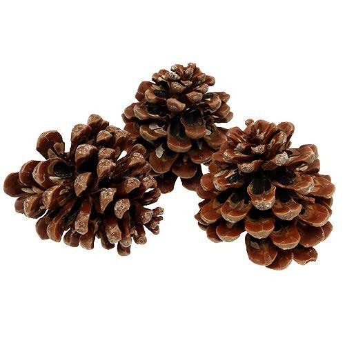 Pinus Pinea mittel 10/14cm Natur 50St