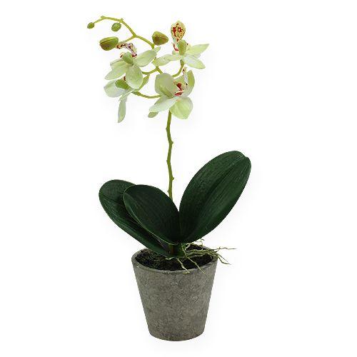 orchidee im topf hellgr n 26cm einkaufen in sterreich. Black Bedroom Furniture Sets. Home Design Ideas