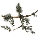 Flechtenmoos Graumoos mit Zweigen 750g