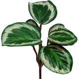 Pflanze Tropical Grün, Pink 20cm